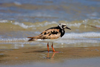 Ruddy Turnstone (Breeding)