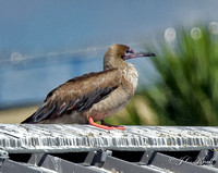 Red-footed Booby (Juv)