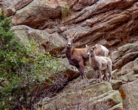 Bighorn Sheep - Ewe and Kid