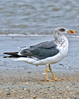 Lesser Black-backed Gull (Imm)
