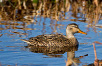 Mottled Duck (F)