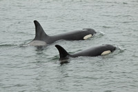 Killer Whales - mother and calf