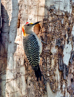 Golden-fronted Woodpecker (M)