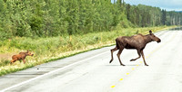 Mother Moose with a calf