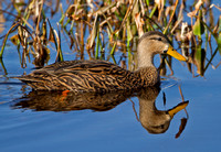 Mottled Duck (M)
