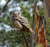 Great Horned Owl (Rocky Mountains)