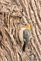 Golden-fronted Woodpecker (F)