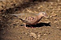 Common Ground-dove (M)