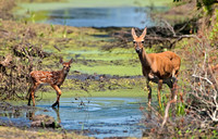 White-tailed Deer: Doe & Fawn