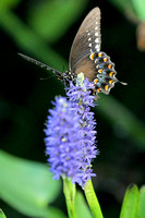 Spicebush Swallowtail on Pickerelweed
