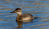 Ruddy Duck (F)