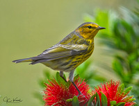 Cape May Warbler (M)
