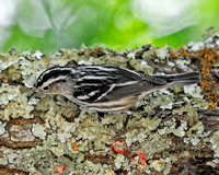Black-and-white Warbler (F)